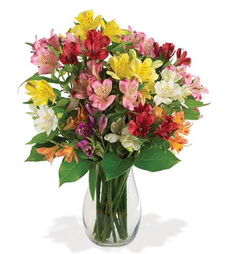 Multi-Colored Peruvian Lilies