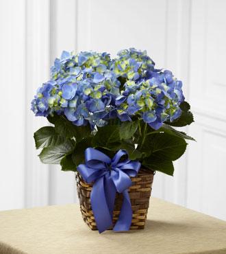FTD® Blue Hydrangea Planter
