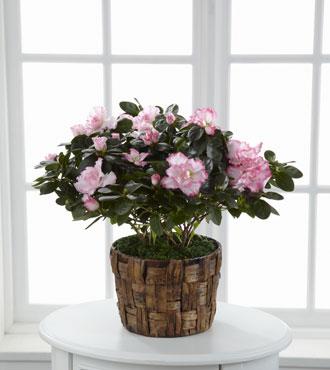 FTD® Pink Azalea
