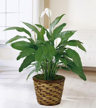 FTD® Spathiphyllum