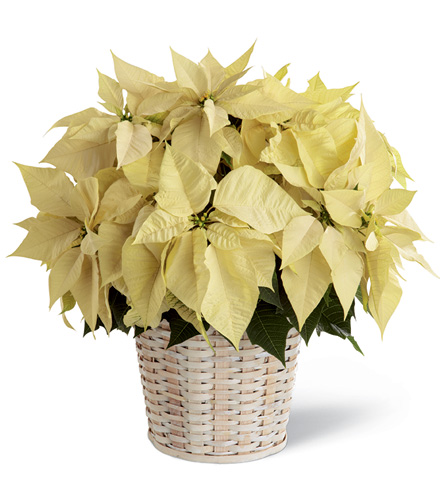 FTD® White Poinsettia Basket - Greatest