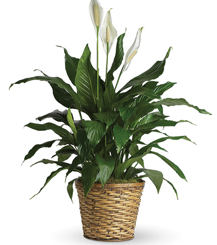 Classic Peace Lily Plant - Greater