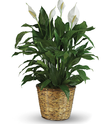 Classic Peace Lily Plant - Greatest