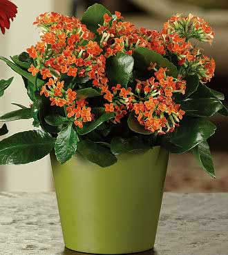 Colorful Kalanchoe Blooming Plant