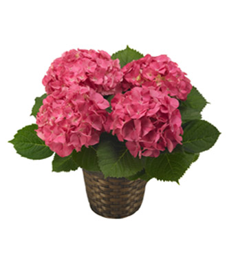 Pink Hydrangea Plant