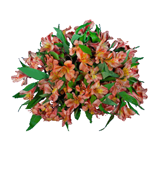 Orange Peruvian Lilies - Greater