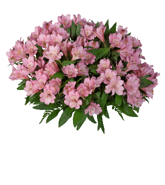 Pink Peruvian Lilies - Greater