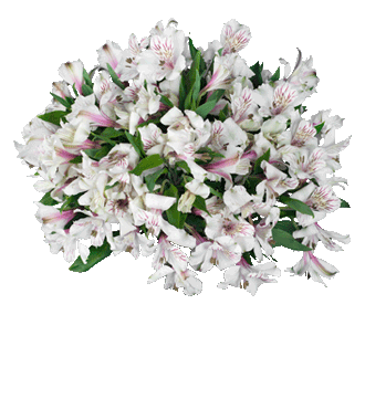 White Peruvian Lilies - Greater