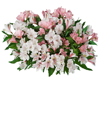 Pink & White Peruvian Lilies - Greater