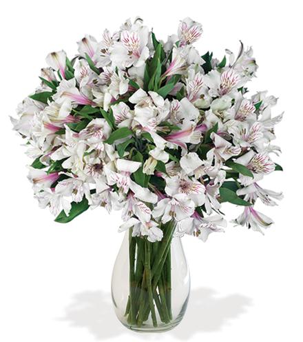 White Peruvian Lilies - Greatest