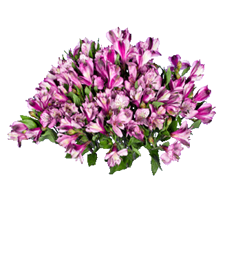 Purple Peruvian Lilies - Greater