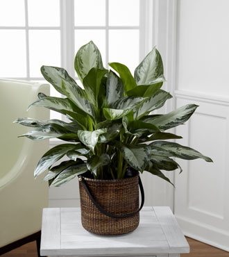FTD® Chinese Evergreen Plant