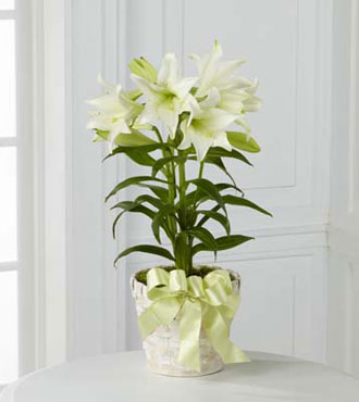 FTD® Easter Lily Plant