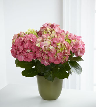 FTD® Pink Hydrangea Planter