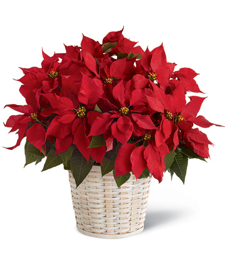 FTD® Red Poinsettia Basket Bouquet - Greater