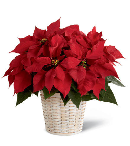 FTD® Red Poinsettia Basket Bouquet