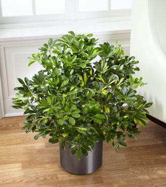 FTD® Schefflera Arboricola
