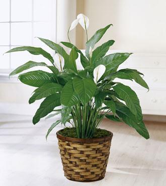 FTD® Spathiphyllum Bouquet