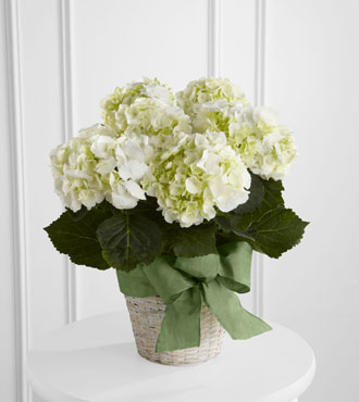 FTD® White Hydrangea Planter From  $75