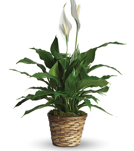 Classic Peace Lily Plant From  $70
