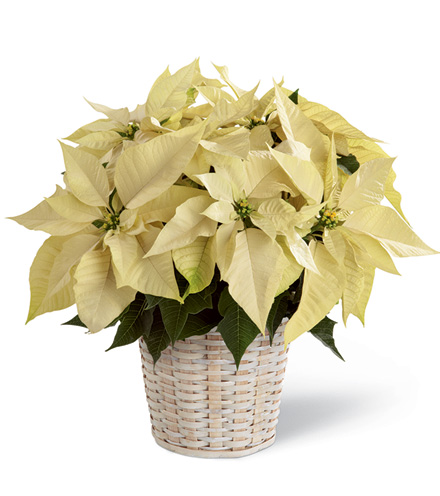FTD® White Poinsettia Basket Bouquet