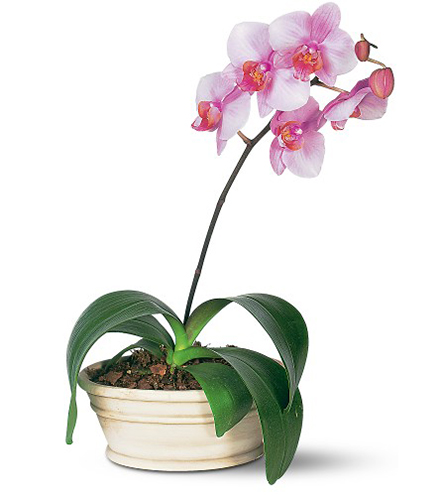 Lavender Orchid From  $110